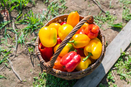 Red and yellow ripe freshly picked peppers in a wooden basket. High quality photo
