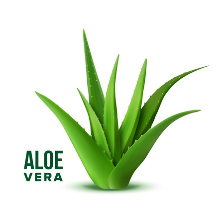 Natural Vitamin Healthy Plant Aloe Vera Vector. Realistic Medicine Botanic Herbal Green Plant With Thorn Leaves For Skincare Dermatology Cosmetic, Lotion Or Gel And Mask Ingredient. 3d Illustration Vector Illustration
