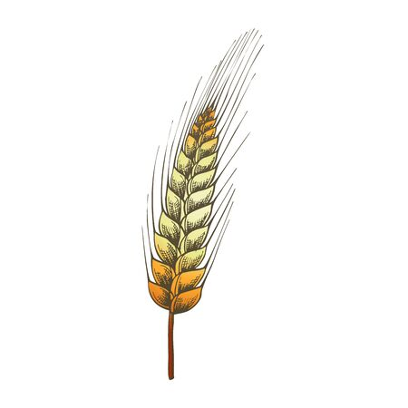 Designed Agriculture Grain Wheat Ripe Spike Vector. Farming Harvest Wheat For Flour And Produce Bread, Cake Or Bakery Product. Organic Growth Color Hand Drawn Illustration 向量圖像