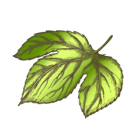 Hop Leaf At Base Is Palmate Three-lobed Vector. Leaf Deeply Heart-shaped With Ovate, Pointed Lobes And Along Edge Of Large-blade, Opposite And Long-petiolate Color Illustration
