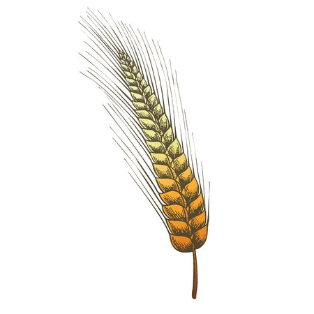 Designed Agriculture Grain Rye Ear Spike Vector. From Typical Cereal Produce Rye Kvass, Flour Is Made Mainly For Bread, Starch And Used As Raw Material For Production Of Alcohol. Color Illustration