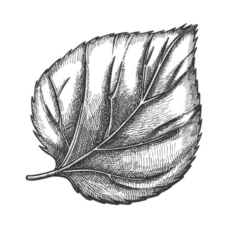 Nature Leaf Of Herbaceous Hop Plant Closeup . Leaf Of Liana Genus, Close Relatives Is Hemp And Cannabis. Detail Of Decorative And Climbing Branch. Black And White Hand Drawn Cartoon Illustration Banque d'images - 128349080