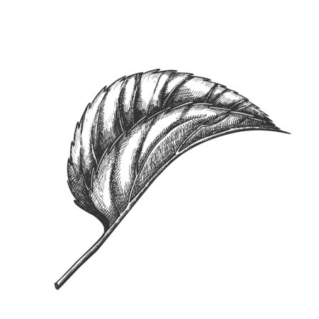 Leaf Of Herbaceous Perennial Hop Plants . Leaf Of Liana Humulus Genus Of Cannabaceae Family. Element Of Decorative And Climbing Branch. Black And White Hand Drawn Cartoon Illustration Imagens