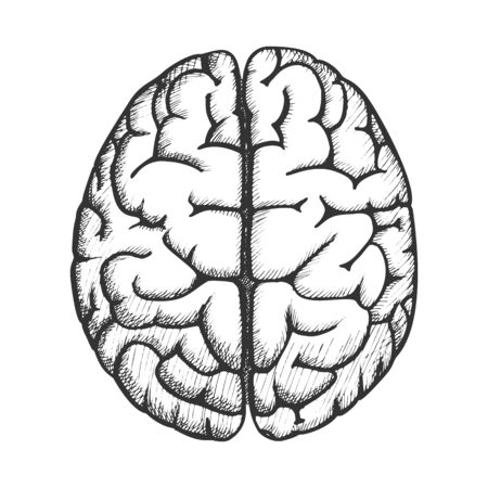Head Organ Human Brain Top View Vintage Vector. Two Hemicerebrum Of Brain For Medical Anatomy Lessons. Cerebral Hemispheres Of Mind Organism Detail Designed In Retro Style Monochrome Illustration