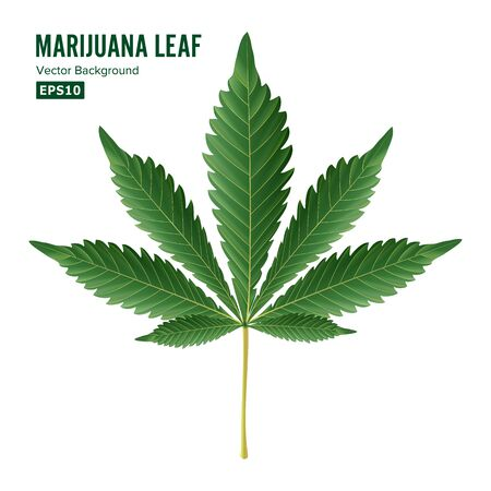 Cannabis Leaf . Green Cannabis Cannabis Sativa or Cannabis Indica Leaf Isolated On White Background. Medical Plant