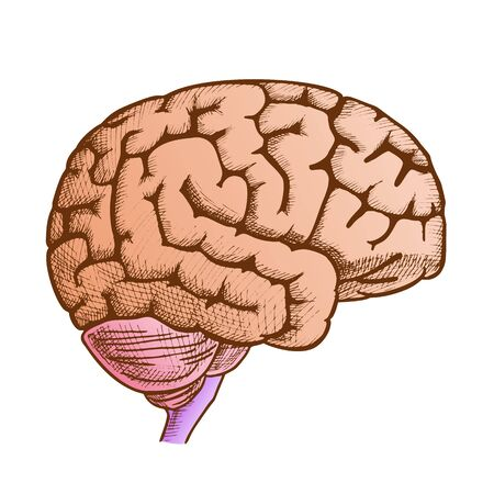 Head Organ Human Brain Side View Vintage Vector. Engraved Brain For Medical Anatomy Education. Intelligence, Memory And Think Organism People Element Designed In Retro Style Color Illustration 向量圖像
