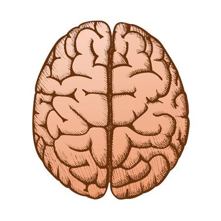 Head Organ Human Brain Top View Vintage Vector. Two Hemicerebrum Of Brain For Medical Anatomy Lessons. Cerebral Hemispheres Of Mind Organism Detail Designed In Retro Style Color Illustration