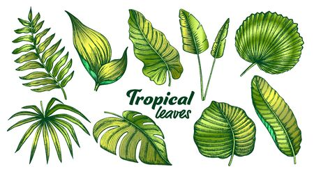 Tropical Leaves Color Set Vector. Exotic Jungle Tree And Bush Leaves. Element Of Beautiful Nature Botanical Plants Hand Drawn In Vintage Style Illustrations 向量圖像