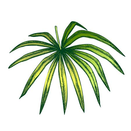 Thrinax Radiata Exotic Leaf Hand Drawn Vector. Detail Of Cultivated Palm Floral Leaf. Element Of Beautiful Nature Botanical Herb Designed In Vintage Style Color Illustration