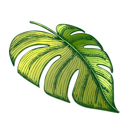 Monstera Tropical Exotic Leaf Hand Drawn Vector. Flowering Houseplant Floral Frond Leaf. Element Of Beautiful Nature Botanical Herb Designed In Vintage Style Color Illustration