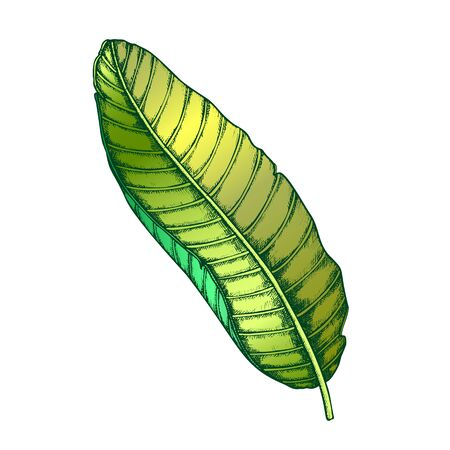 Banana Tropical Exotic Leaf Hand Drawn Vector. Beautiful Flowering Floral Plantain Frond Leaf. Detail Of Beautiful Nature Botanical Food Herb Designed In Retro Style Color Illustration