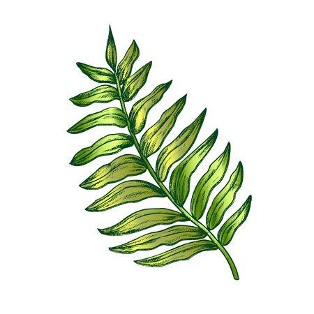Areca Palm Tropical Exotic Leaf Hand Drawn Vector. Houseplant Floral Chrysalidocarpus Lutescens Arching Frond Leaf. Element Of Botanical Herb Designed In Vintage Style Color Illustration 向量圖像