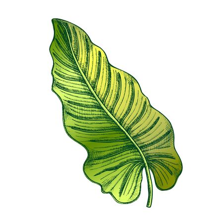 Philodendron Melanochrysum Leaf Hand Drawn Vector. Araceae Family Exotic Flowering Houseplant Leaf. Element Of Beautiful Nature Botanical Herb Designed In Retro Style Color Illustration