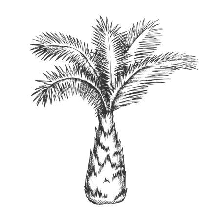 Palm Tree Sabal Minor Miami Palmetto Ink Vector. Tropical Climate Small Species Of Palm. Wild Nature Botany Plant Concept Template Hand Drawn In Vintage Style Black And White Illustration