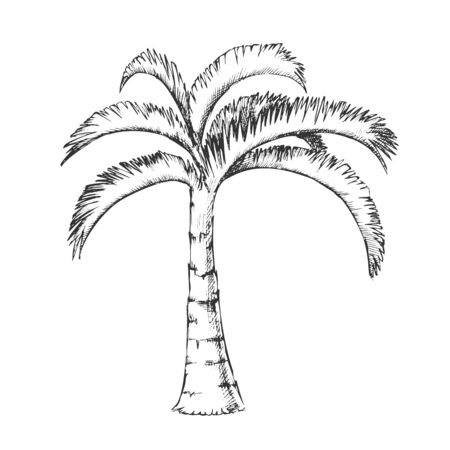 Palm Jamaican Coconut Tropical Tree Ink Vector. Jungle Large Palm Cocos Nucifera. Warm Climate Wild Nature Botany Coco Plant Template Hand Drawn In Vintage Style Black And White Illustration