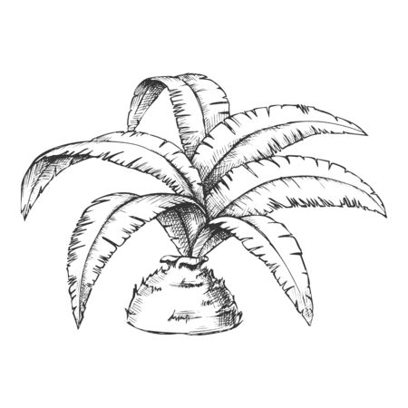 Low Bottle Palm Tropical Tree Monochrome Vector. Decorative Exotic Rainforest Palm Leaves Plant. Nature Botany Hyophorbe Lagenicaulis Template Hand Drawn In Vintage Style Black And White Illustration