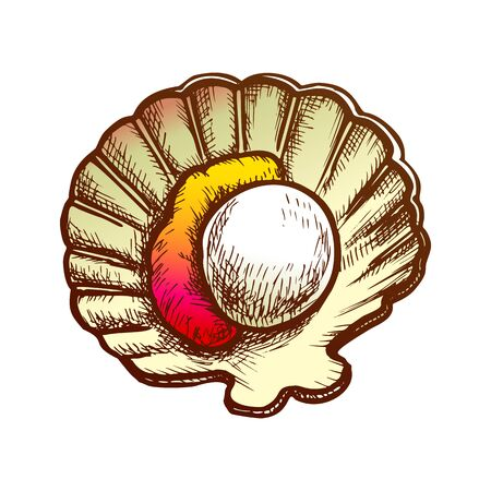 Scallop Meat In Shell Seafood Color Vector. Marine Fresh Food Mollusk Scallop. Shellfish For Aperitif Engraving Concept Template Hand Drawn In Vintage Style Illustration 向量圖像