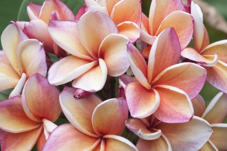Plumeria pink and yellow on cream color photo