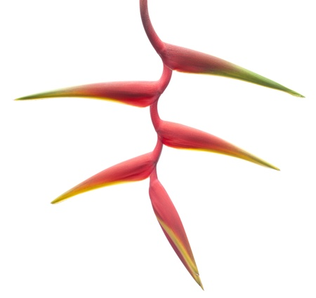 Red Heliconia on white background photo