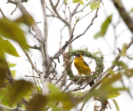 Asian Weaver Bird building its nest in thailand photo
