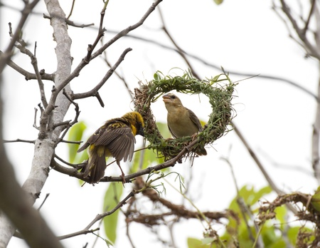 weaver bird nest: Asian Weaver Bird building its nest in thailand