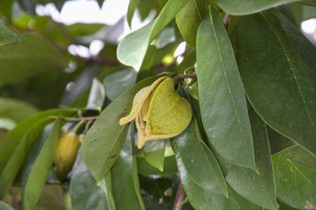 chirimoya: Flor Chirimoya en el �rbol