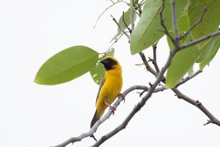 weaver bird: Asian Weaver Bird on the tree