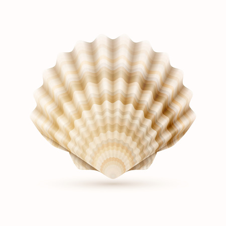 scallops: Detailer vector illustrtion of sea shell