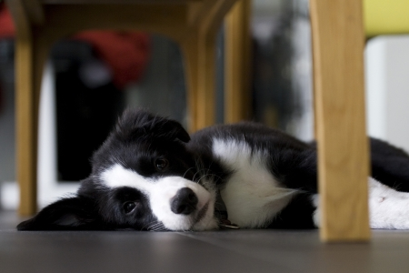 young border collie photo
