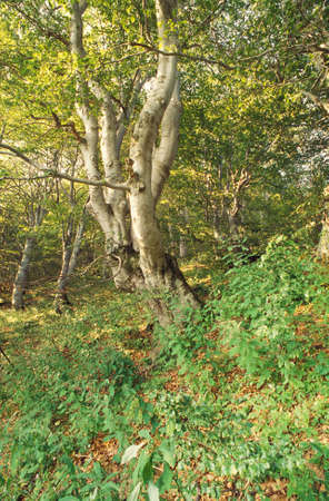 underbrush: beech tree in a forest with underbrush  in summer