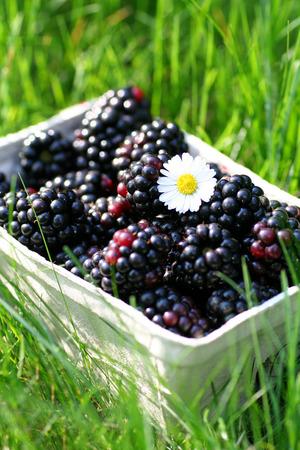 Blackberries on grass Stock Photo - 1414771