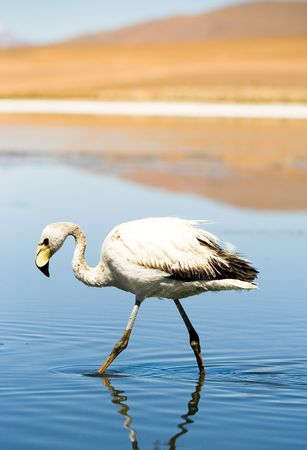 Flamingo, Laguna Blanca, Bolivia photo
