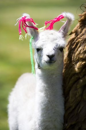 Llama, Bolivia photo