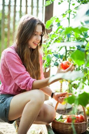allotment: Woman picking fresh tomatoes