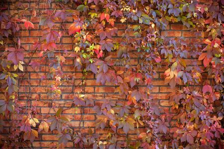 hojas antiguas: Hojas de otoño en una pared de ladrillo Foto de archivo