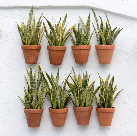 Mother-in-law-tongue or Snake Plant (Sansevieria trifasciata)