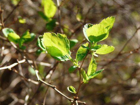 brich: New brich leaves on sunbeam, springtime.