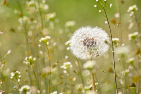 Dandelion in shallow grass field background. Stock Photo - 9623206
