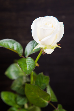 one beautiful fresh white rose on black wooden background Stock Photo