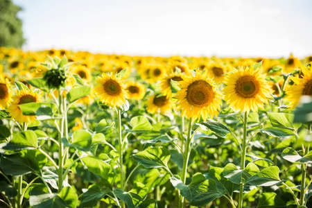 endless field with sunflowers - summer sunny day