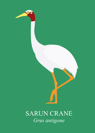 white bird: Cranes Birds cartoon vector on green background, Sarus crane Grus antigone. Illustration