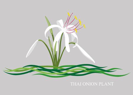 cebolla: Crinum blanco, planta de cebolla, planta de cebolla tailandesa Crinum Thaianum.