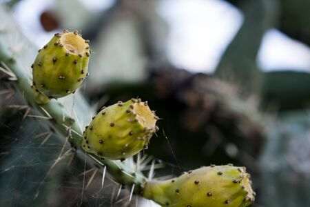 prickly: Three prickly pears Stock Photo