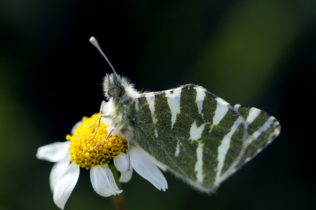 inhabits: Butterfly perched on a daisy Stock Photo