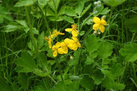 medical  plant: celandine, planta medicinal con flor amarilla, verde p�talos