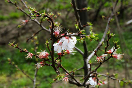 white apricot flowers and new green petals on branch photo