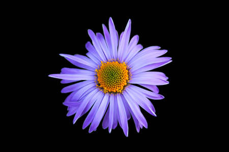 gaudy: violet flower with orange center isolated on black background