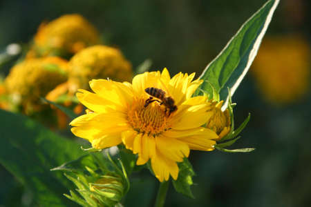 balmy: yellow, honey, nature, plant, bee, macro, insect, pollen, flower, close, petal, summer, beauty, flora, flowers, bloom, blossom, fly, closeup, aromatic, decorative, balmy, petals, fragrance, green, gather, gathering,