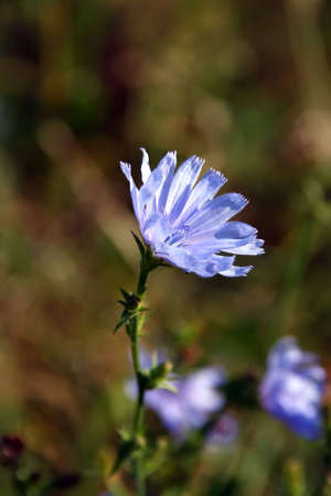 which: A blue-flowered plant, Cichorium intybus, cultivated for its leaves, which are used in salads, and for its roots. The root of this plant, roasted, dried, and used as a coffee substitute. Stock Photo
