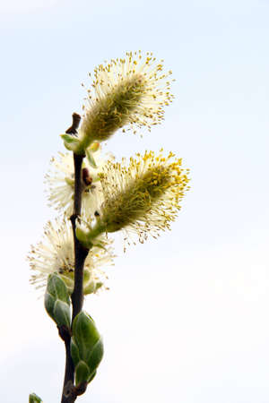 sallow: blooming pussy-willow branch with new green leafs on light background